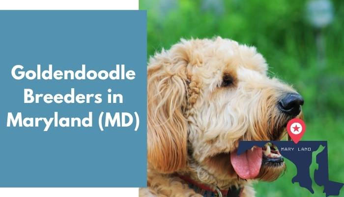 Goldendoodle Breeders in Maryland MD