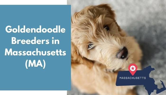 Goldendoodle Breeders in Massachusetts MA