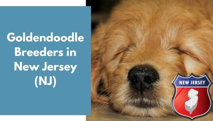 Goldendoodle Breeders in New Jersey NJ
