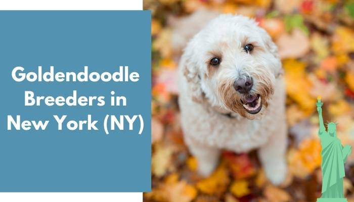 Goldendoodle Breeders in New York NY