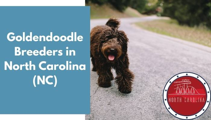 Goldendoodle Breeders in North Carolina NC