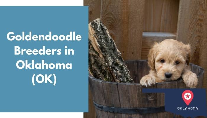 Goldendoodle Breeders in Oklahoma OK