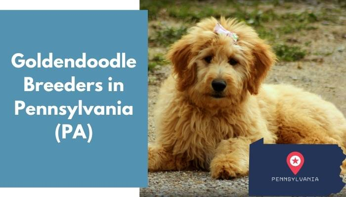 Goldendoodle Breeders in Pennsylvania PA