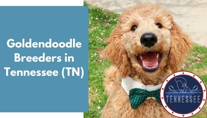 Goldendoodle Breeders in Tennessee TN