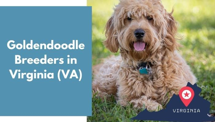 Goldendoodle Breeders in Virginia VA