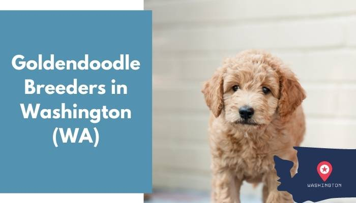 Goldendoodle Breeders in Washington WA