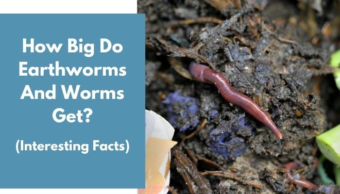 How Big Do Earthworms And Worms Get