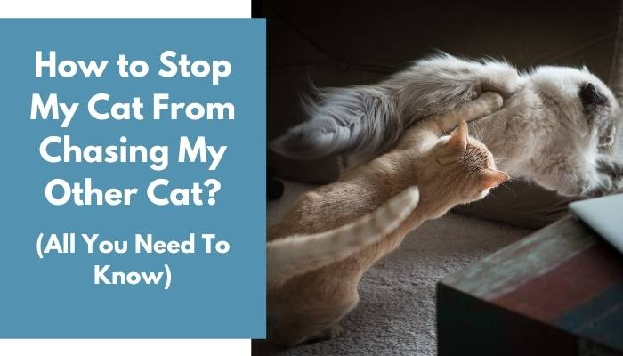 How to Stop My Cat From Chasing My Other Cat