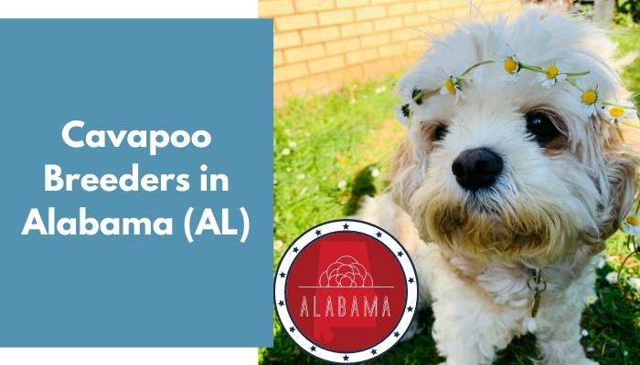 Cavapoo Breeders in Alabama AL