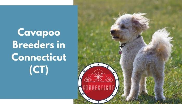 Cavapoo Breeders in Connecticut CT