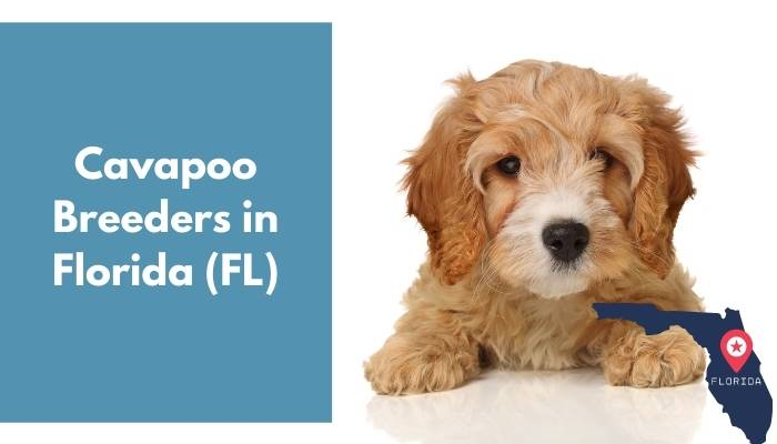 Cavapoo Breeders in Florida FL