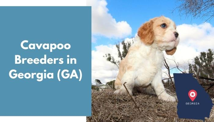 Cavapoo Breeders in Georgia GA