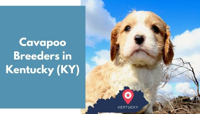 Cavapoo Breeders in Kentucky KY