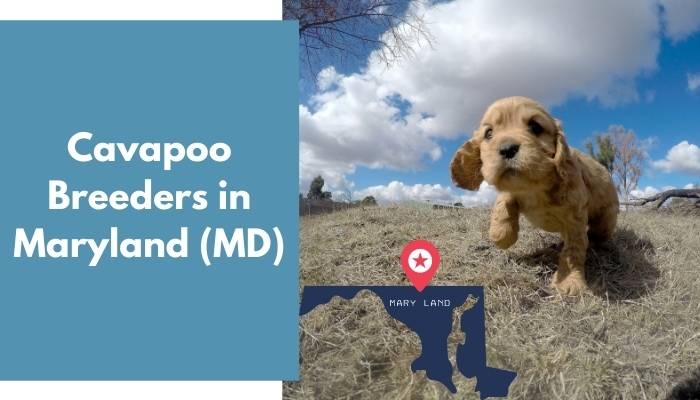 Cavapoo Breeders in Maryland MD