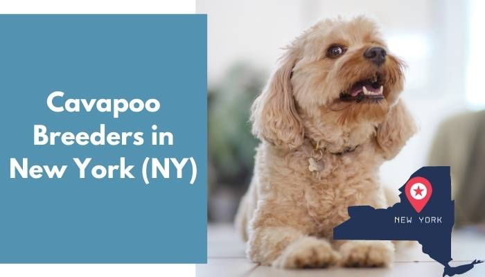 Cavapoo Breeders in New York NY