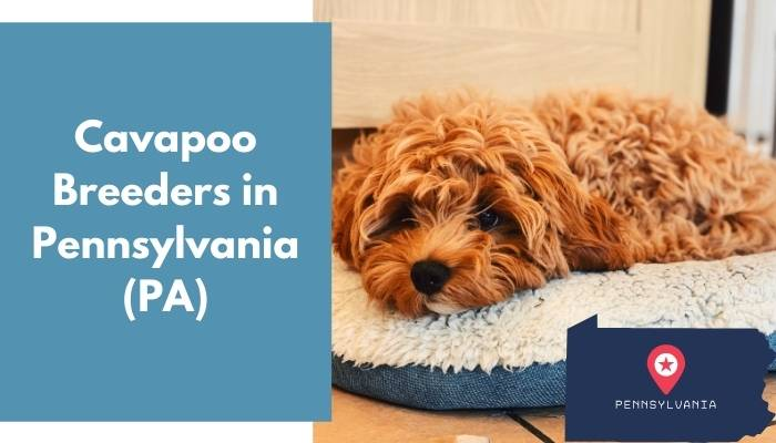Cavapoo Breeders in Pennsylvania PA