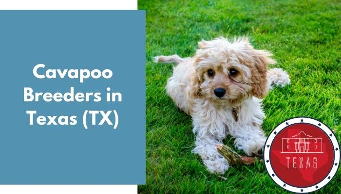 Cavapoo Breeders in Texas TX