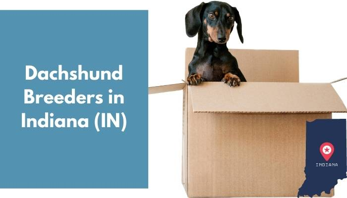 Dachshund Breeders in Indiana IN