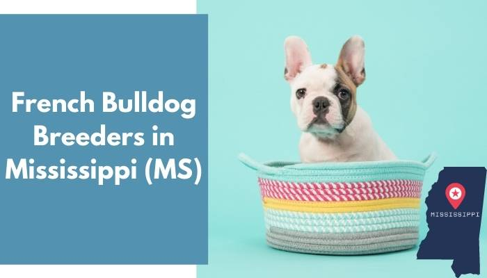 French Bulldog Breeders in Mississippi MS