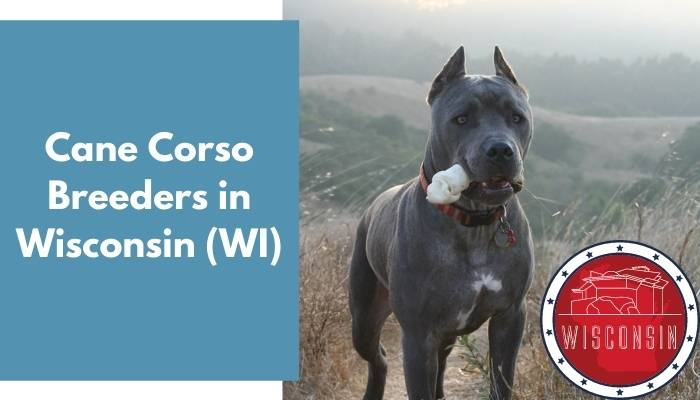 Cane Corso Breeders in Wisconsin WI