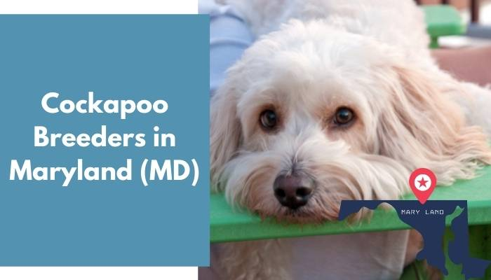 Cockapoo Breeders in Maryland MD