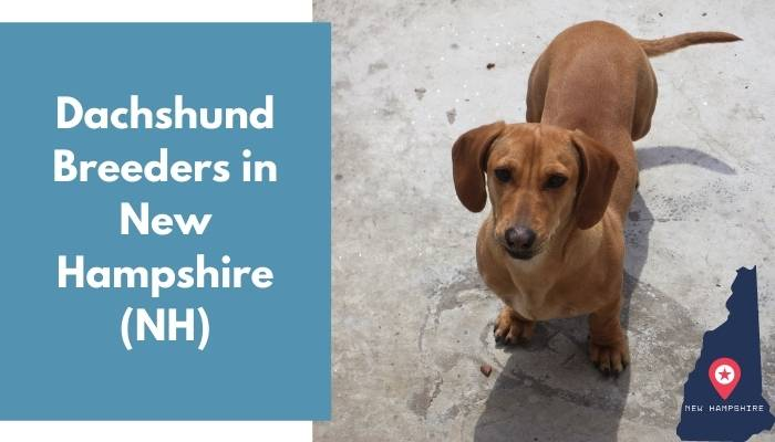 Dachshund Breeders in New Hampshire NH
