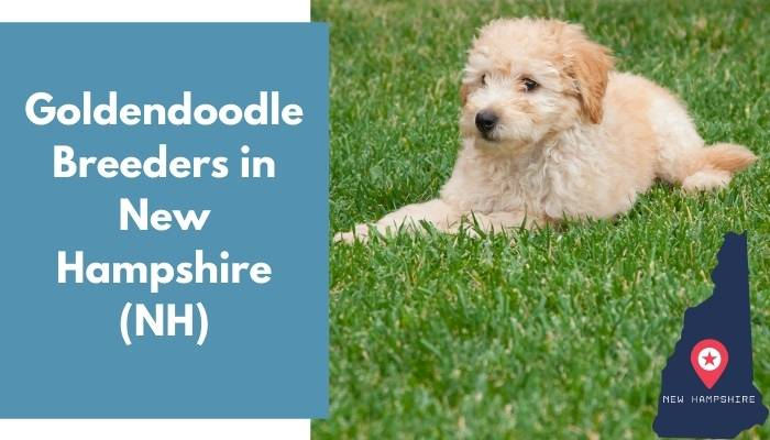 Goldendoodle Breeders in New Hampshire NH