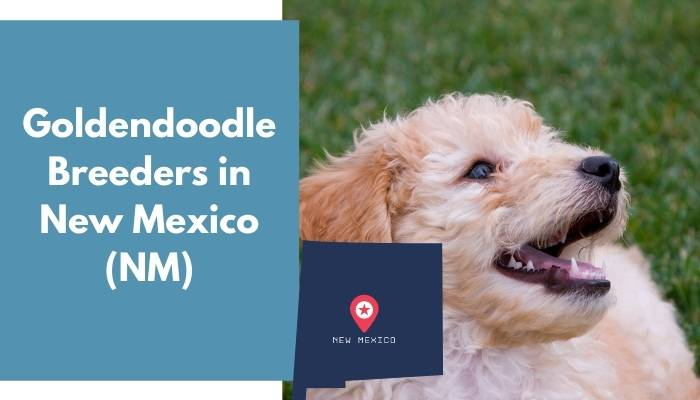 Goldendoodle Breeders in New Mexico NM