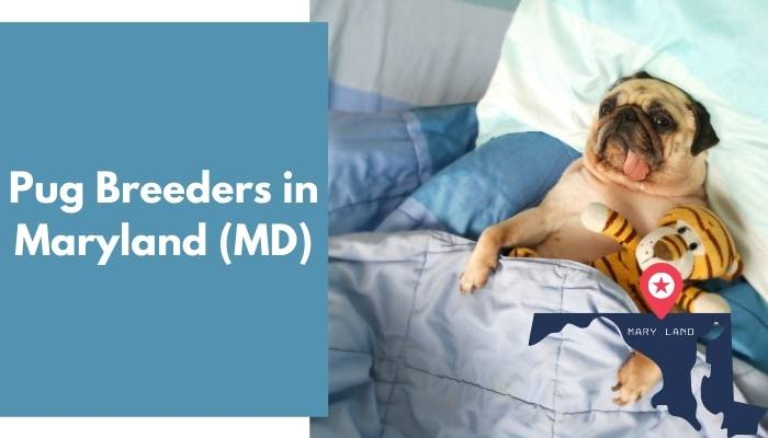 Pug Breeders in Maryland MD