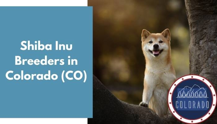 Shiba Inu Breeders in Colorado CO