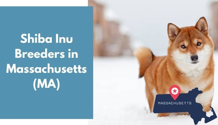 Shiba Inu Breeders in Massachusetts MA