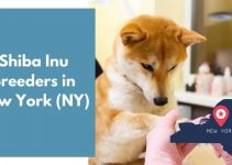 20 Shiba Inu Breeders in New York (NY) | Shiba Inu Puppies for Sale