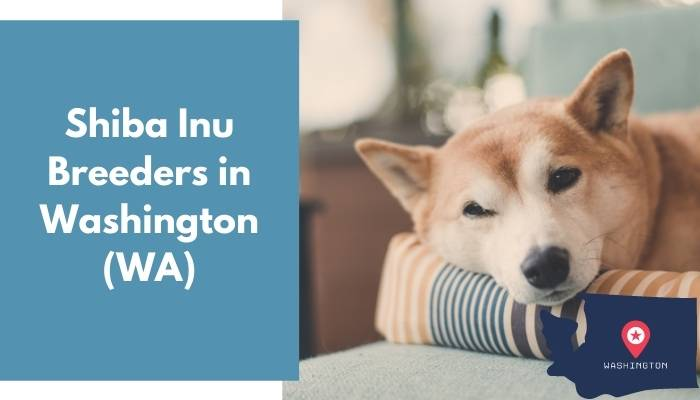 Shiba Inu Breeders in Washington WA