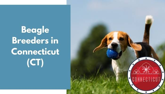 Beagle Breeders in Connecticut CT