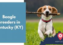 3 Beagle Breeders in Kentucky (KY) | Beagle Puppies for Sale