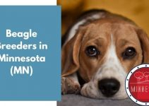 3 Beagle Breeders in Minnesota (MN) | Beagle Puppies for Sale