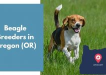 3 Beagle Breeders in Oregon (OR) | Beagle Puppies for Sale