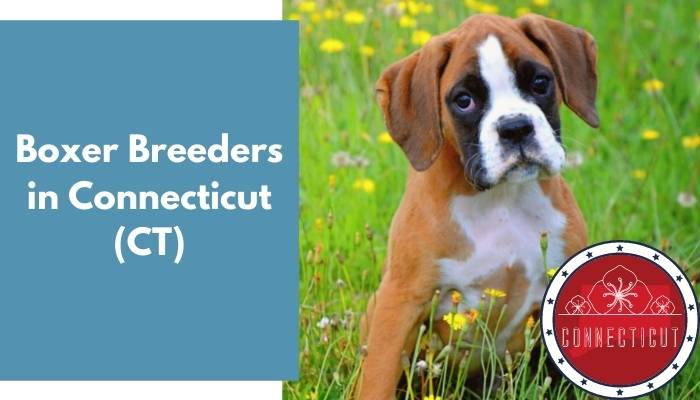 Boxer Breeders in Connecticut CT