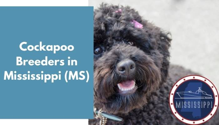 Cockapoo Breeders in Mississippi MS