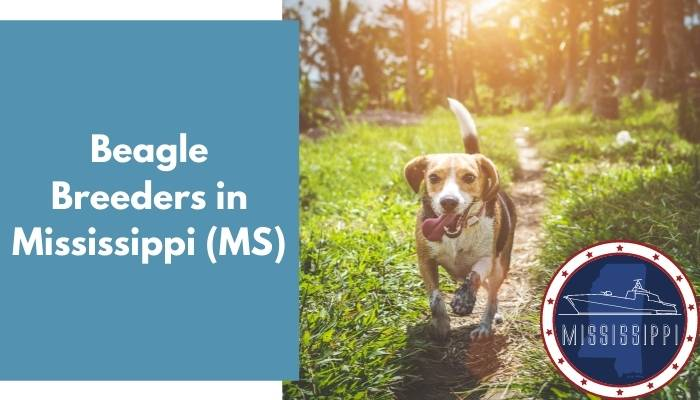 Beagle Breeders in Mississippi MS