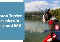 4 Boston Terrier Breeders in Maryland (MD) | Boston Terrier Puppies for Sale