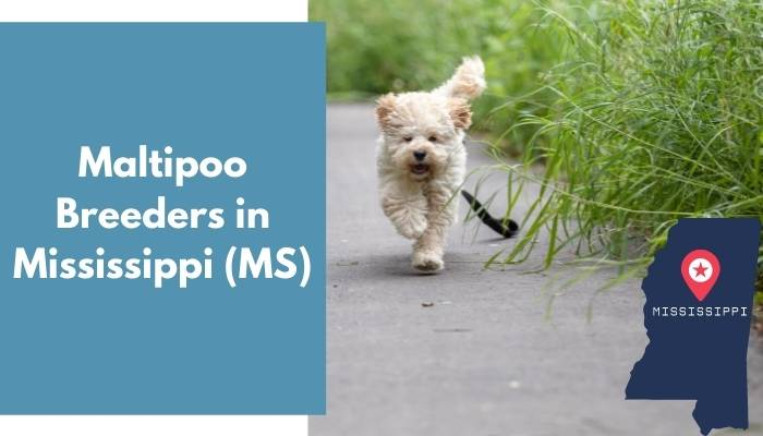 Maltipoo Breeders in Mississippi MS