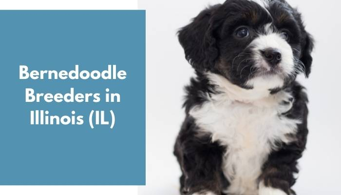 Bernedoodle Breeders in Illinois IL
