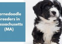 4 Bernedoodle Breeders in Massachusetts (MA) | Bernedoodle Puppies for Sale