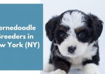 10 Bernedoodle Breeders in New York (NY) | Bernedoodle Puppies for Sale
