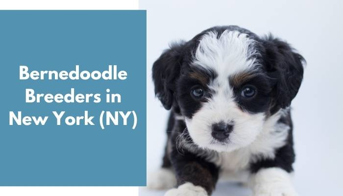 Bernedoodle Breeders in New York NY