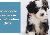 10 Bernedoodle Breeders in North Carolina (NC) | Bernedoodle Puppies for Sale