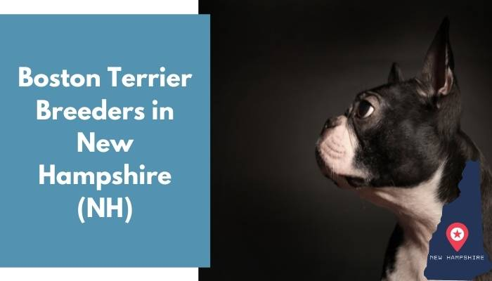 Boston Terrier Breeders in New Hampshire NH