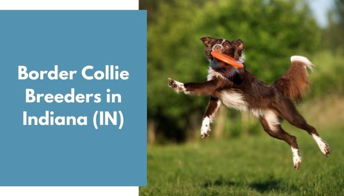 Border Collie Breeders in Indiana IN