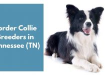 4 Border Collie Breeders in Tennessee (TN) | Border Collie Puppies for Sale